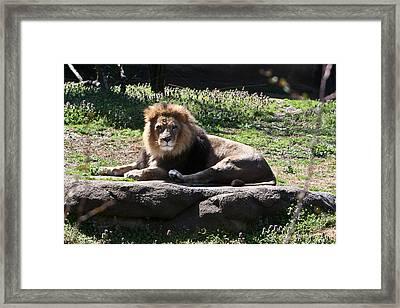 African Lion 1 Framed Print