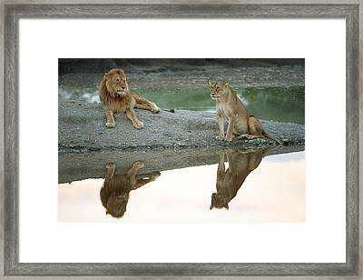 African Lion And Lioness Panthera Leo Framed Print by Panoramic Images