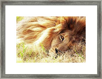 African Lion Closeup Lying In Grass Framed Print