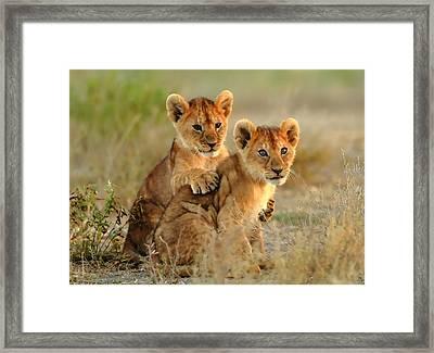 African Lion Cubs Framed Print by Maciek Froncisz
