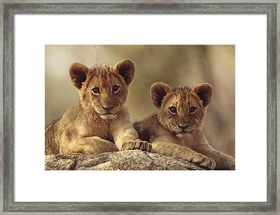 African Lion Cubs Resting On A Rock Framed Print by Tim Fitzharris