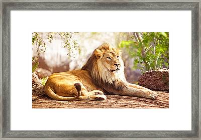 African Lion Laying In Forest Framed Print