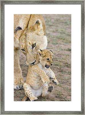 African Lion Mother Picking Up Cub Framed Print by Suzi Eszterhas