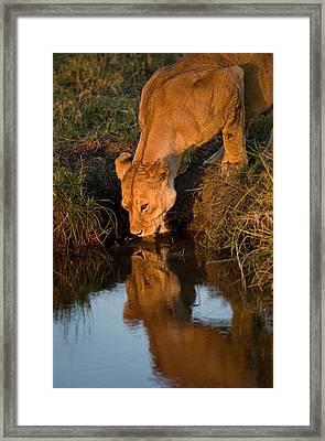 African Lion Panthera Leo Drinking Framed Print