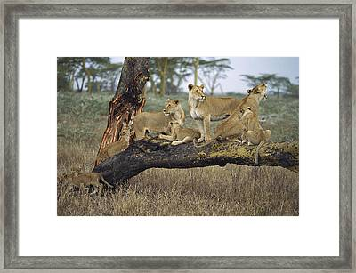 African Lion Panthera Leo Family Framed Print by Konrad Wothe