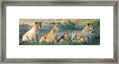 African Lion Panthera Leo Family Framed Print