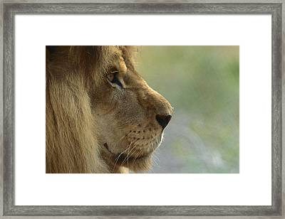 African Lion Panthera Leo Male Portrait Framed Print by Zssd