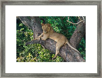 African Lion Panthera Leo On Tree, Lake Framed Print by Panoramic Images