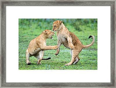African Lion Panthera Leo Playing Framed Print