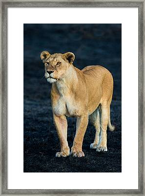 African Lion Panthera Leo Standing Framed Print by Panoramic Images