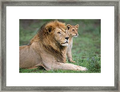 African Lion Panthera Leo With Its Cub Framed Print