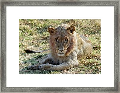 African Lion Framed Print by Robert Shard