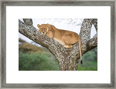 African Lioness Panthera Leo Resting Framed Print