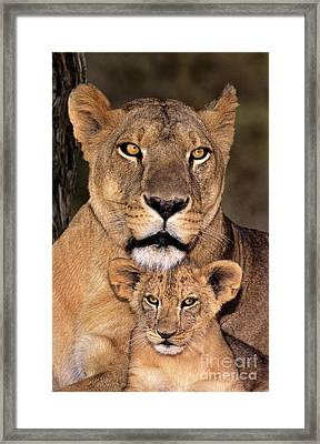 African Lions Parenthood Wildlife Rescue Framed Print