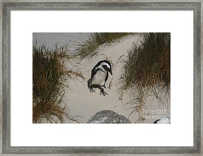 African Penguin On A Mission Framed Print