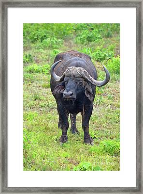 African Safari African Buffalo Framed Print