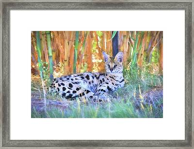 African Serval Wildcat Framed Print by Donna Kennedy