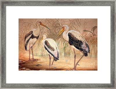African Tantalus Pseudotantalus Ibis Framed Print