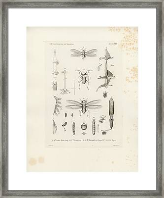 African Termites And Their Anatomy Framed Print