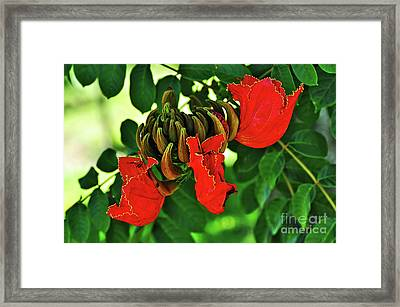 African Tulip Tree Framed Print by Kaye Menner