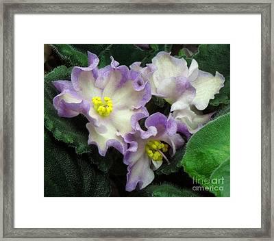 African Violet 'hawaiian Pearl' Framed Print