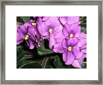 African Violets Framed Print by Barbara Yearty
