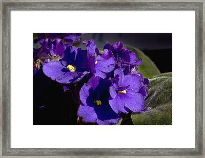 Framed Print featuring the photograph African Violets by Phyllis Denton
