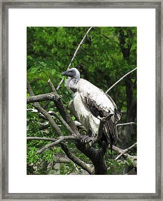 African Vulture Framed Print by George Jones