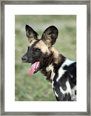 African Wild Dog Lycaon Pictus, Tanzania Framed Print by Panoramic Images