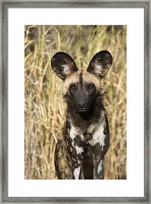 Framed Print featuring the photograph African Wild Dog Okavango Delta Botswana by Suzi Eszterhas
