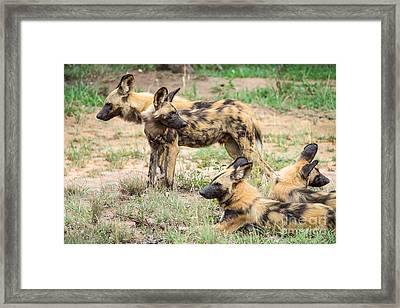 African Wild Dogs Framed Print by Juergen Klust
