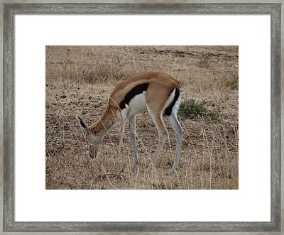 African Wildlife 4 Framed Print