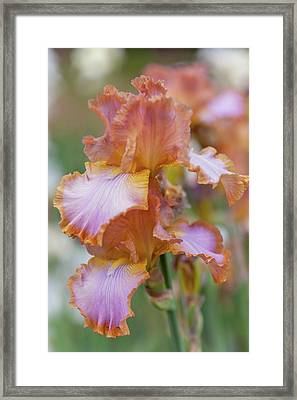 Afternoon Delight 2. The Beauty Of Irises Framed Print