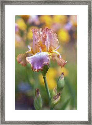 Afternoon Delight. The Beauty Of Irises Framed Print