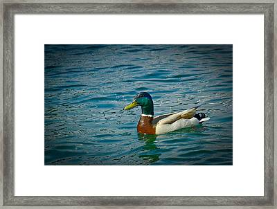 Afternoon Swim Framed Print by Ken Gimmi