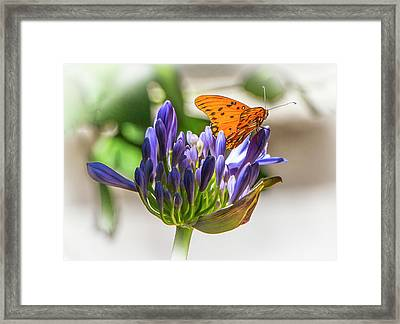 Agapanthus And Milkweed Tiger Butterfly Framed Print by Venetia Featherstone-Witty