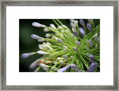 Framed Print featuring the photograph Agapanthus, The Spider Flower by Yoel Koskas