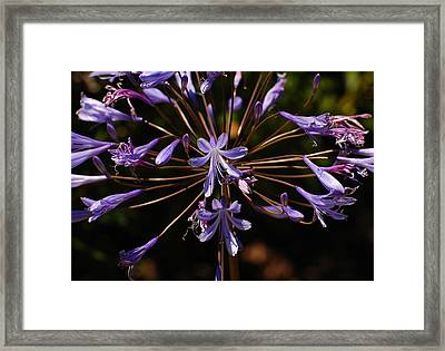 Agapanthus Burst Framed Print by Jean Booth