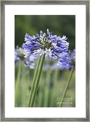 Agapanthus Multicolour Framed Print by Tim Gainey