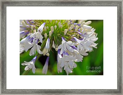 Agapanthus Queen Mum Framed Print by Louise Heusinkveld