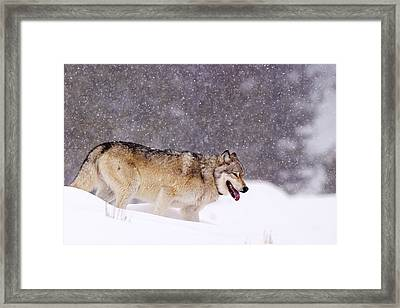Agate Wolf 113m In Falling Snow Framed Print
