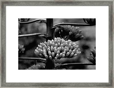 Framed Print featuring the photograph Agave Buds by Vicki Pelham