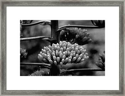 Agave Buds Framed Print