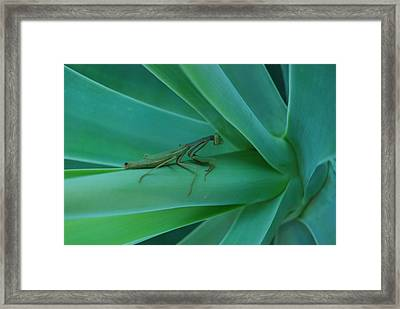 Agave Praying Mantis Framed Print