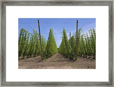Agriculture And Farming Of Hops In Oregon. Framed Print by Gino Rigucci