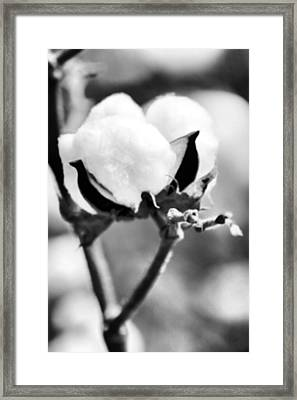Agriculture- Cotton 2 Framed Print