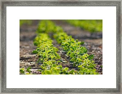 Agriculture- Soybeans 1 Framed Print