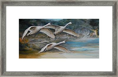 Ahead Of The Storm - Trumpeter Swans On The Move Framed Print by Rob Dreyer