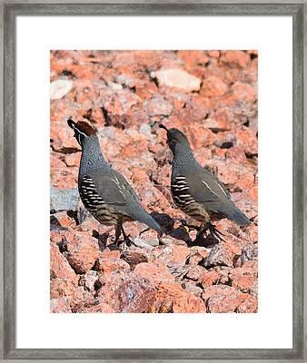 Ahhhh My Little Desert Quail Framed Print