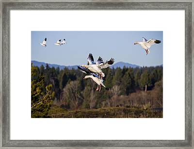 Air Acrobatics Framed Print by Windy Corduroy